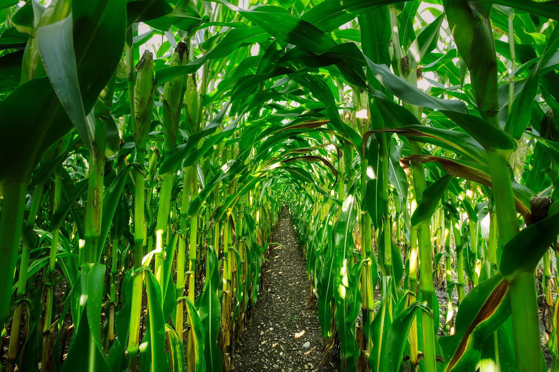 Biorefineries can produce renewable aviation fuel from maize. A research project was initiated to investigate how this process can be optimised.